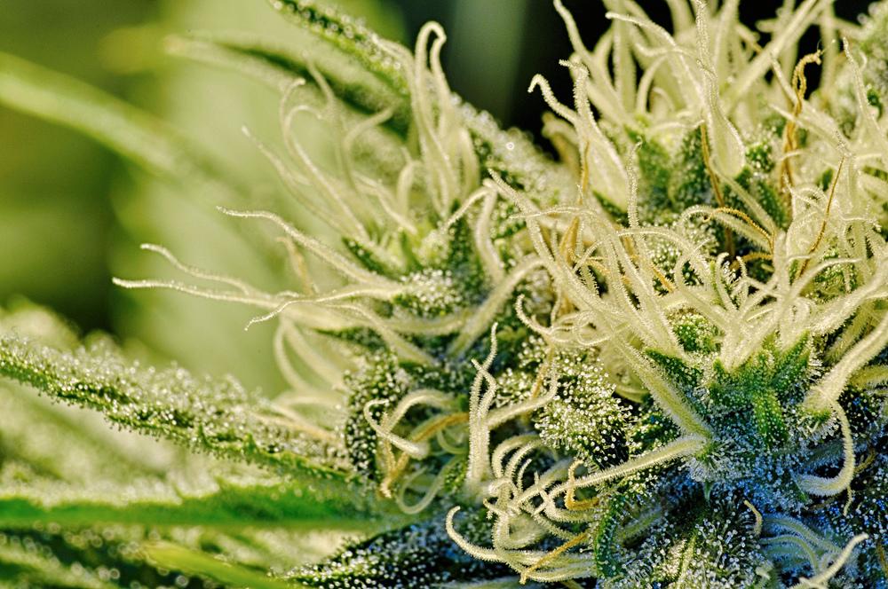 Beautiful Marijuana Strain             Image Source: https://flic.kr/p/fBeqM4