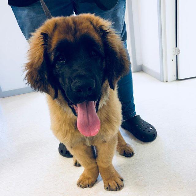 Er ikke jeg søt eller? #roykendyreklinikk #norway #veterinary #puppy #dogsofinstagram #leonberger #cute #puppylove
