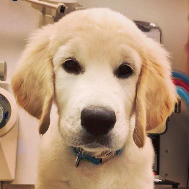 God helg alle sammen 🐶🐰🐱 klinikken er åpen kl 10-14 i dag 😊 #roykendyreklinikk #puppiesofinstagram #puppilove #norway #lovemyjob #cutedogs #goldenretriever