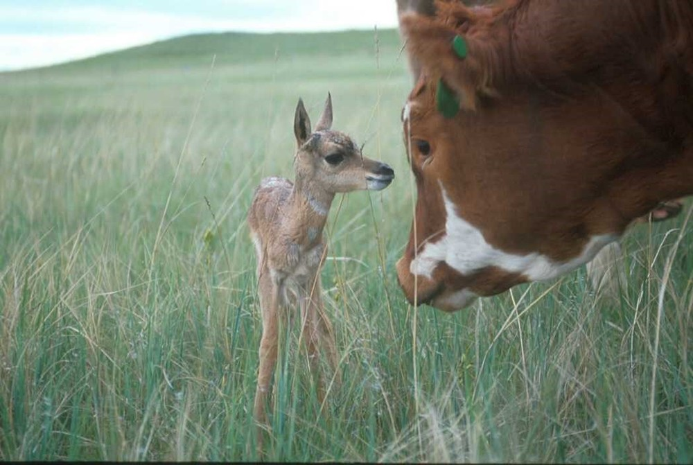 Pronghorn talking with cow.jpg