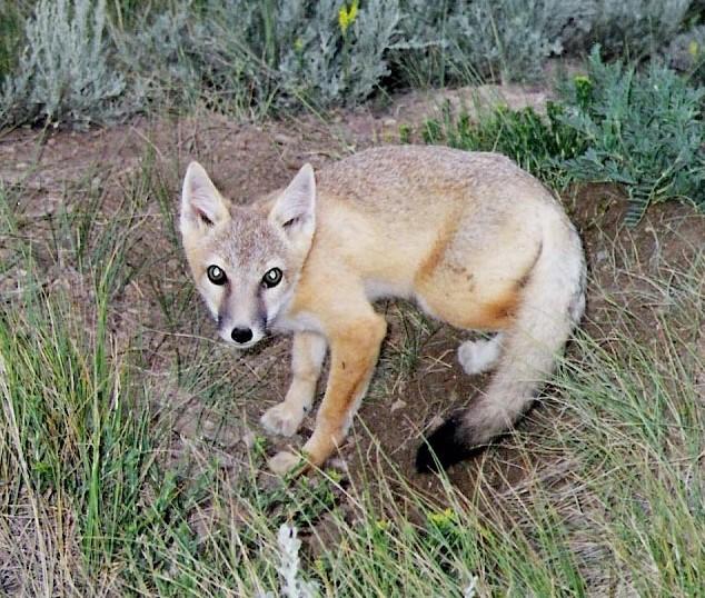 swift_fox (2).jpg