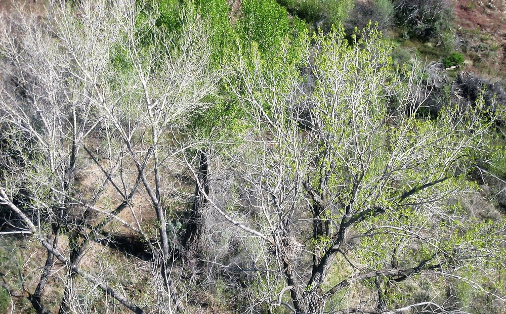 Nest in cottonwood.jpg
