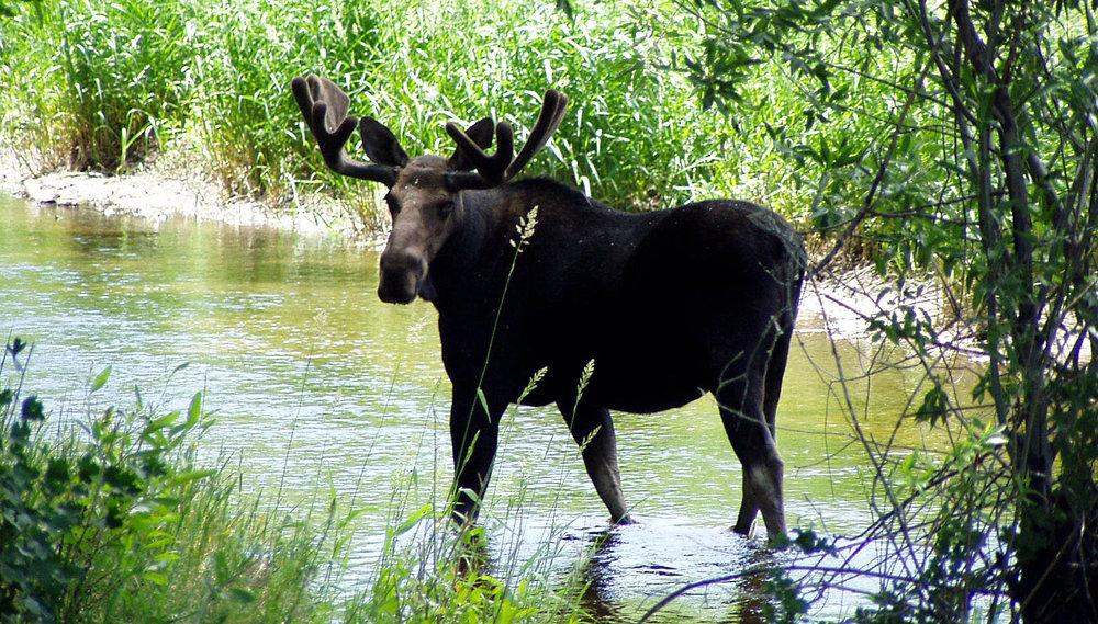 good moose_1.jpg
