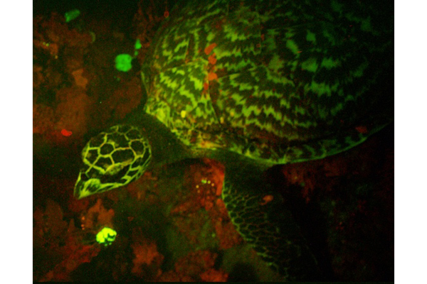 biofluorescent turtle