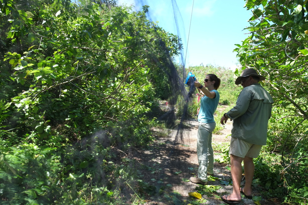 Kelly (bird curator at the Honolulu Zoo) and Peter (co-founder of Pacific Bird Conservation) set up mist nets