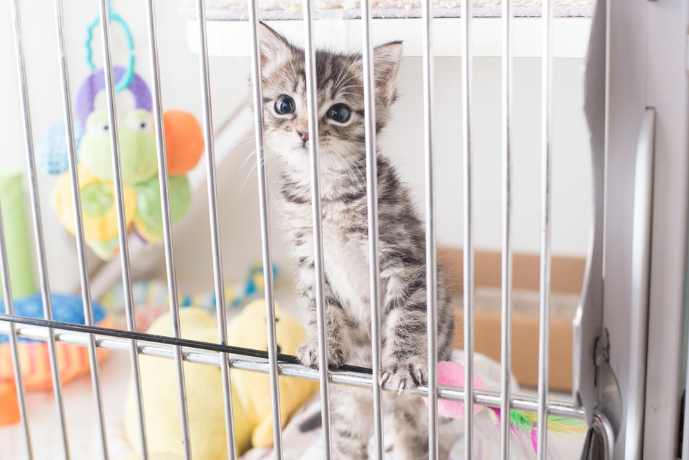 Image of: Foster Foster For Your Local Animal Shelter Pinterest Find Kittens Kitten Lady