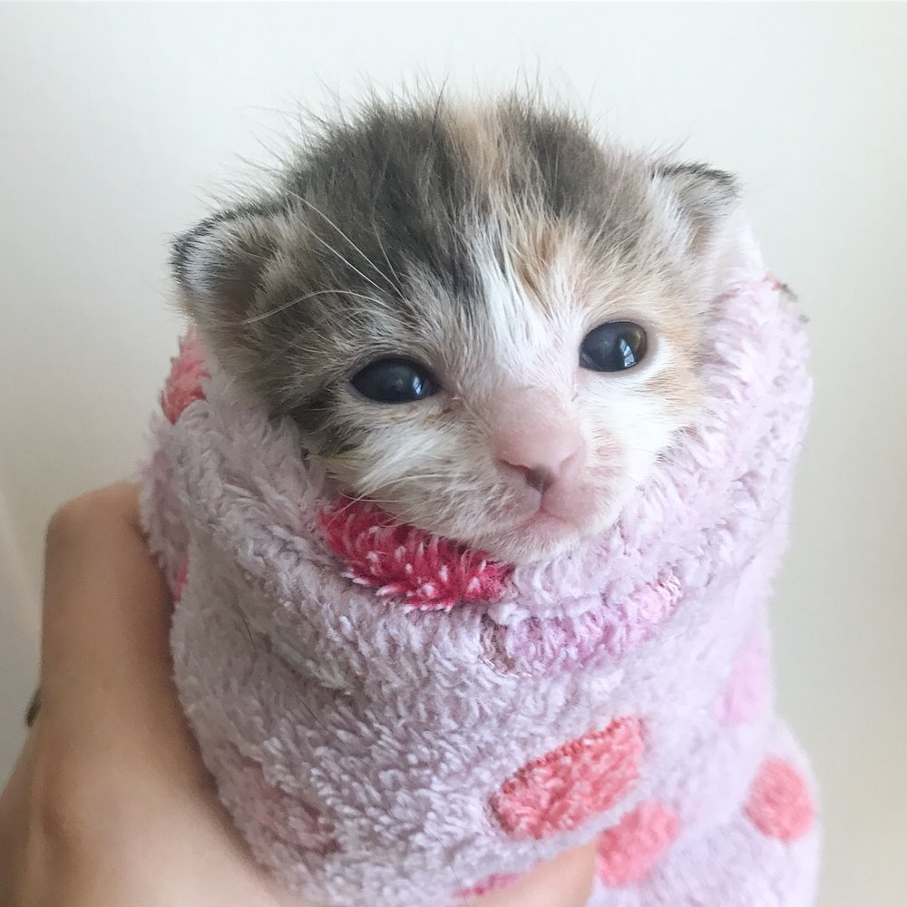 Sprout! A diluted calico like her sister, Blossom. A purrito princess.