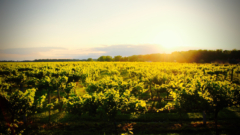 Illinois vermilion county fairmount - Vineyard Sunset 2 Jpg