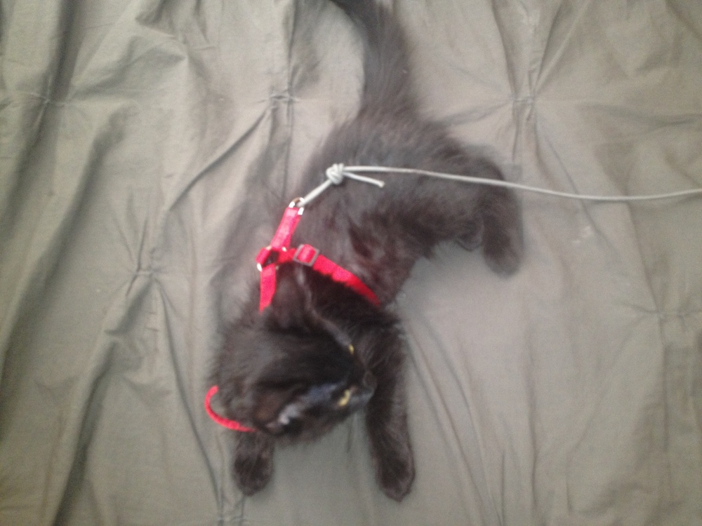 kitty in harness