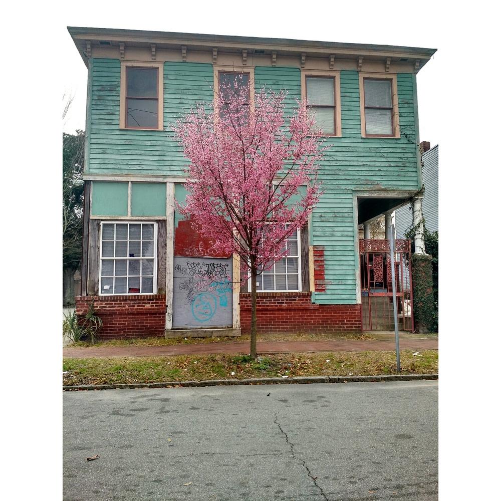 Cherry Blossom Tree in Savannah, GA