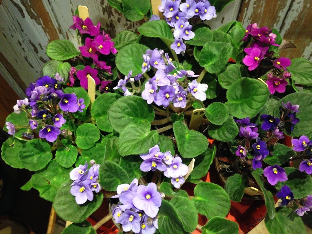 african violets website.jpg