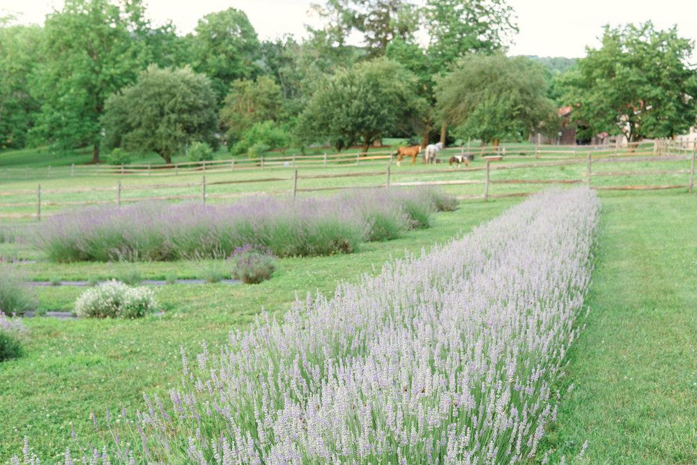 Mt Airy Lavender Farm (59 of 101).jpg
