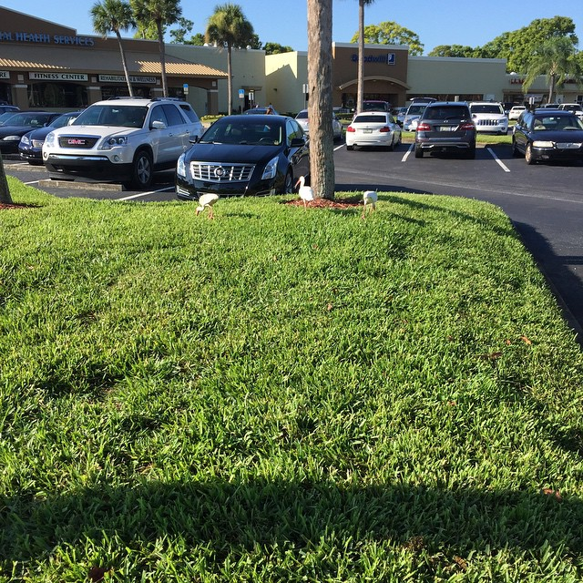 #lifespath #luxuryforyoursoul tropical birds in the parking lot. Only in Florida.