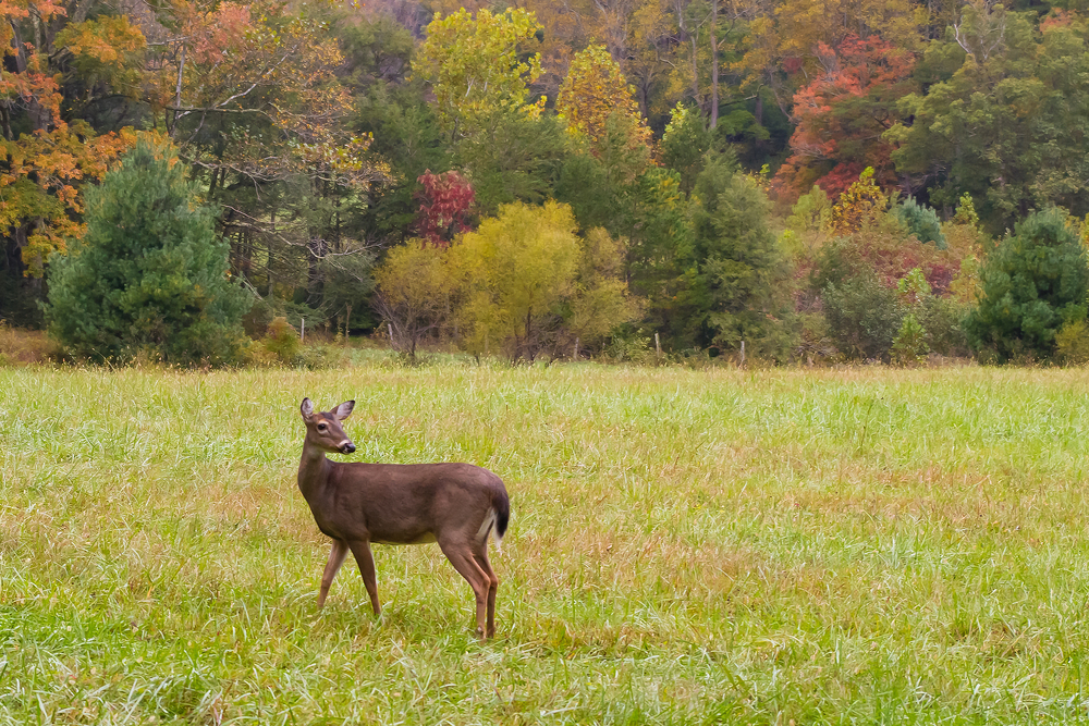 Deer in Field - 20121010-3533.jpg