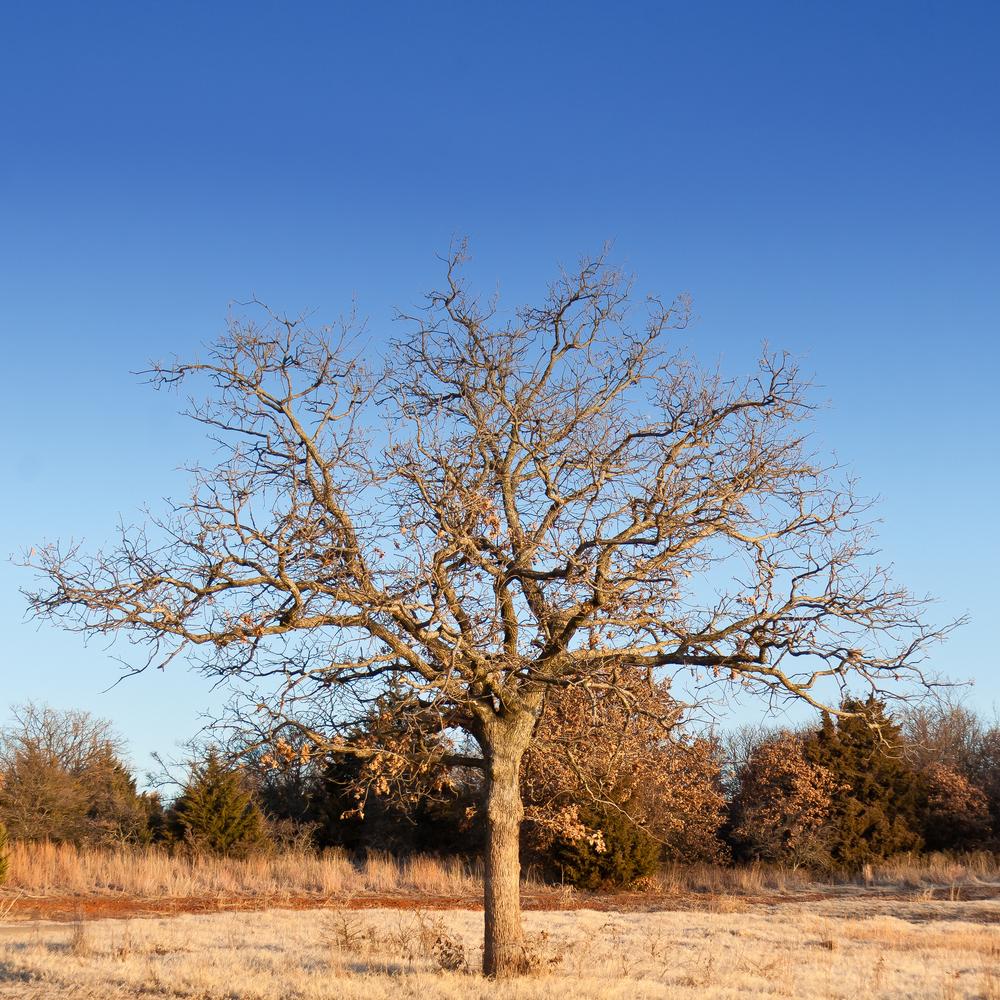 Oak Tree - 01052011 -9456.jpg