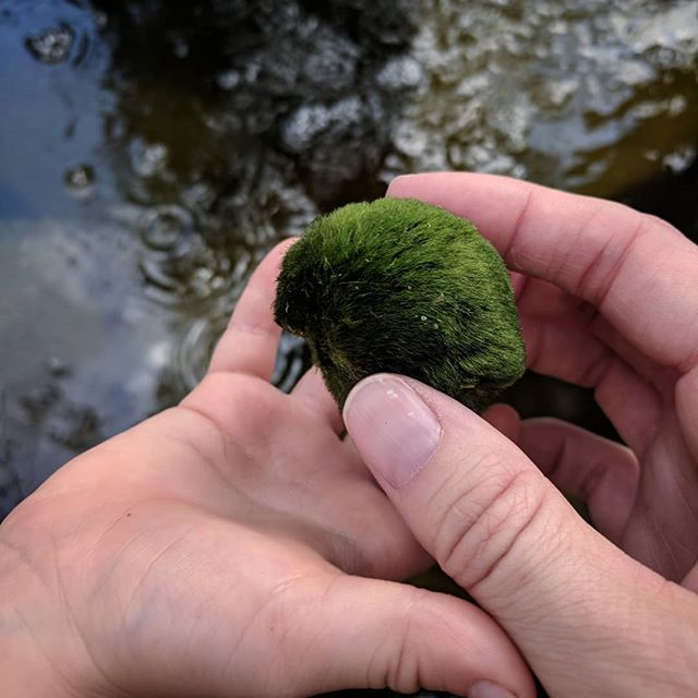 Our backyard pond is stocked with a bunch of these super cool marimo moss balls which provide equal parts algae control and awww.
