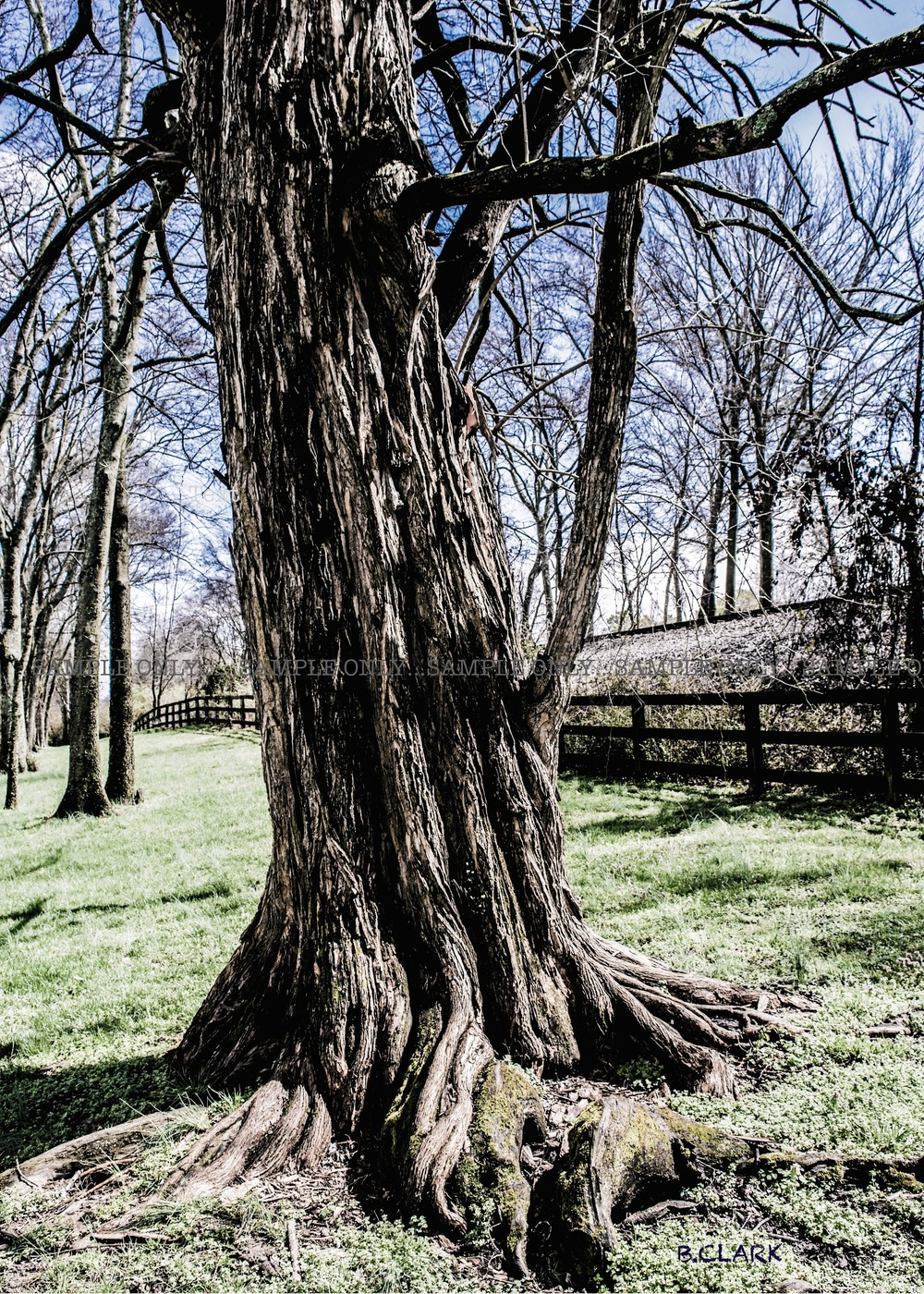 Crooked Old Tree