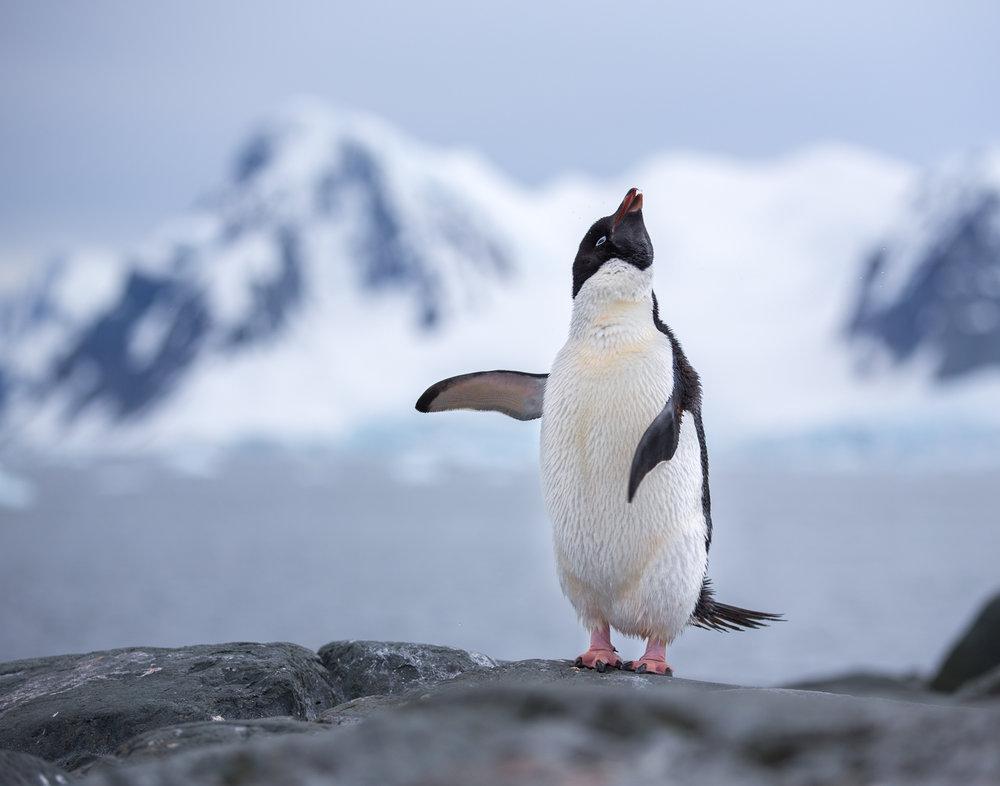 95 Adelie Penguin, Antarctica