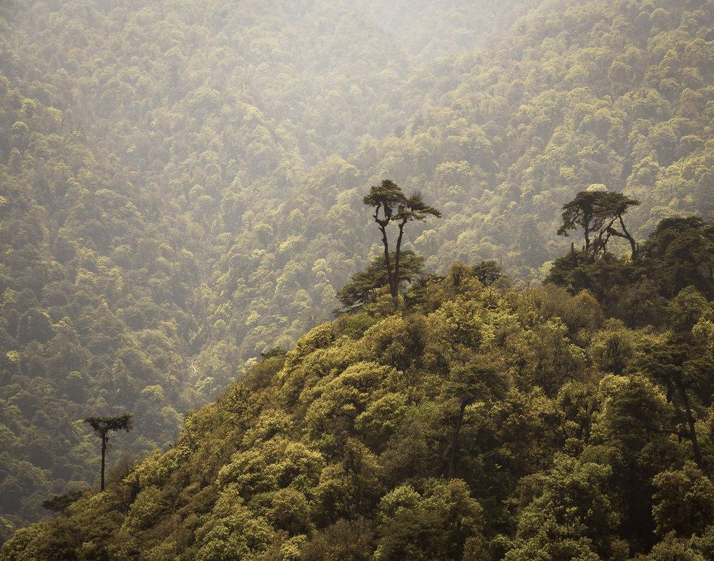 90 Himalayan Cedar Trees, Bhutan