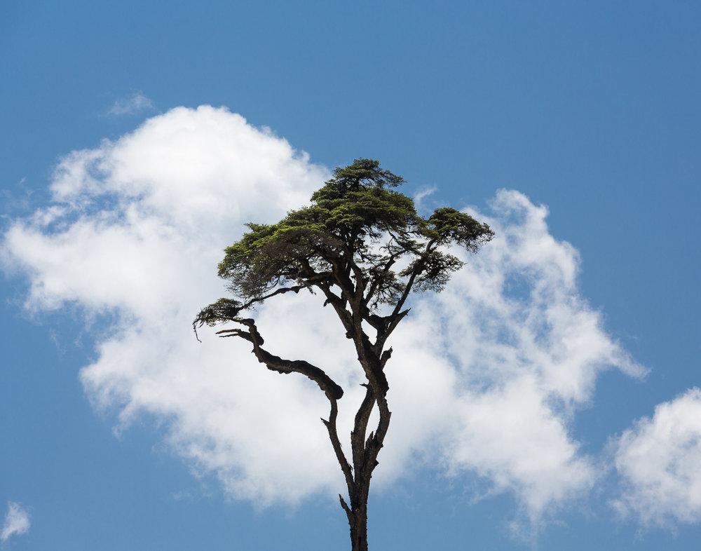87 Himalayan Cedar, Bhutan