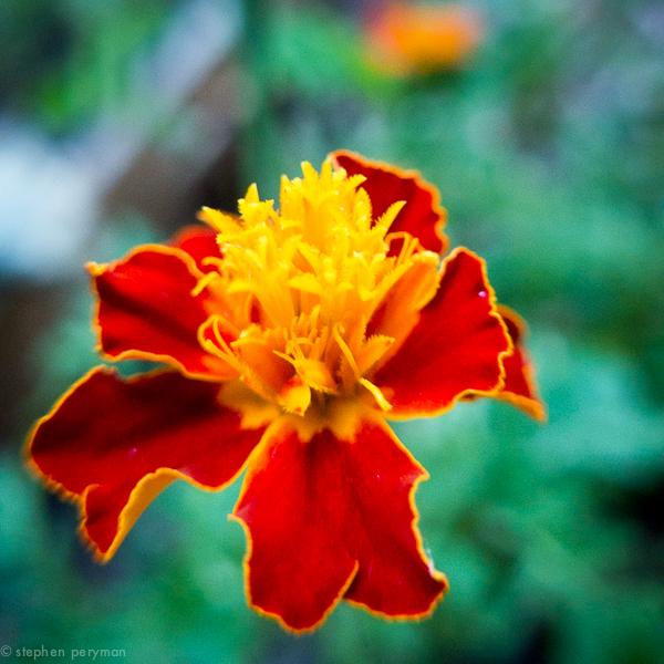 marigold-1010333.jpg
