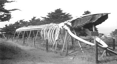 Finback whale skeleton erected by Japanese abalone divers at Point Lobos. Photo taken circa 1906.