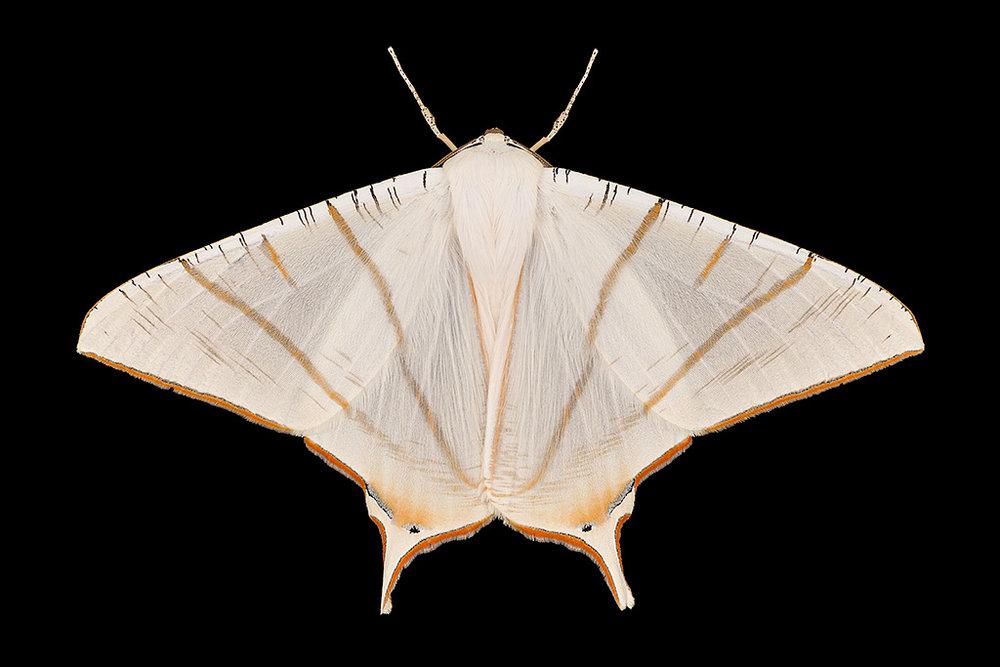 Ourapteryx clara-A2-1024px-2.jpg