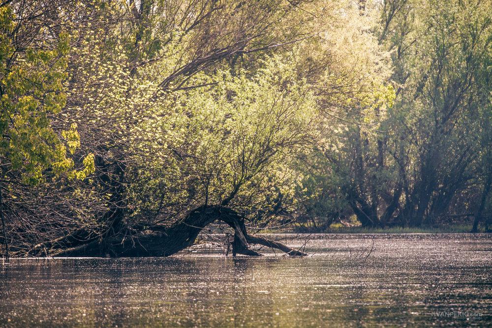 ivanovo suma priroda drvo reka.jpg