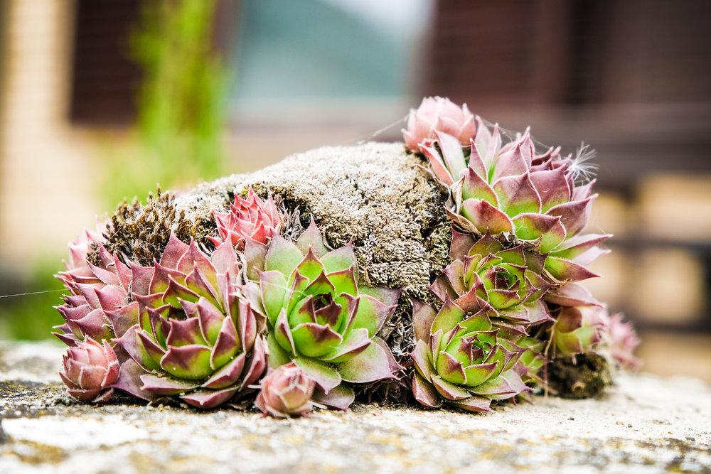 ivanovo cvece biljka (1 of 1).jpg