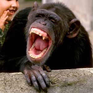 laughter chimp