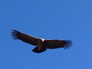 possibility, condor, Peru