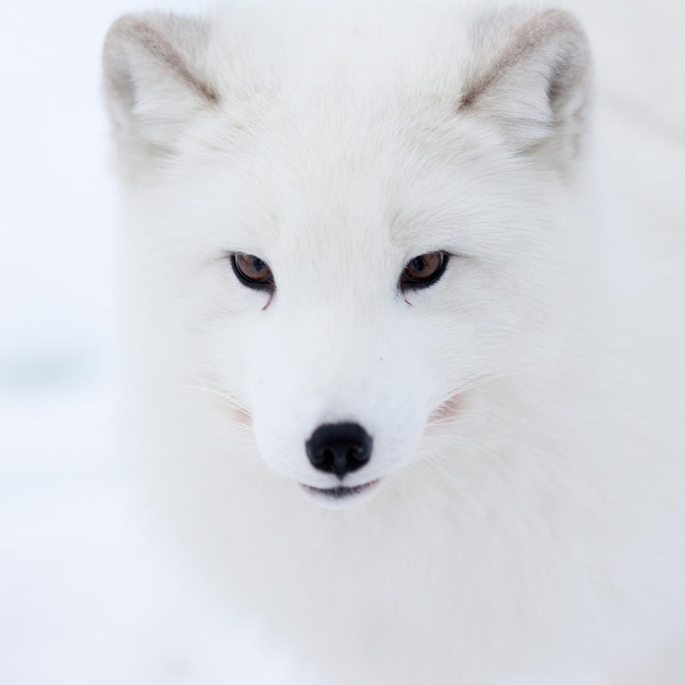1500_fox.jpg
