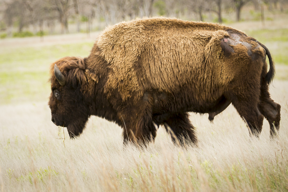 Oklahoma Bison - Wichita Mountains National Wildlife Refuge