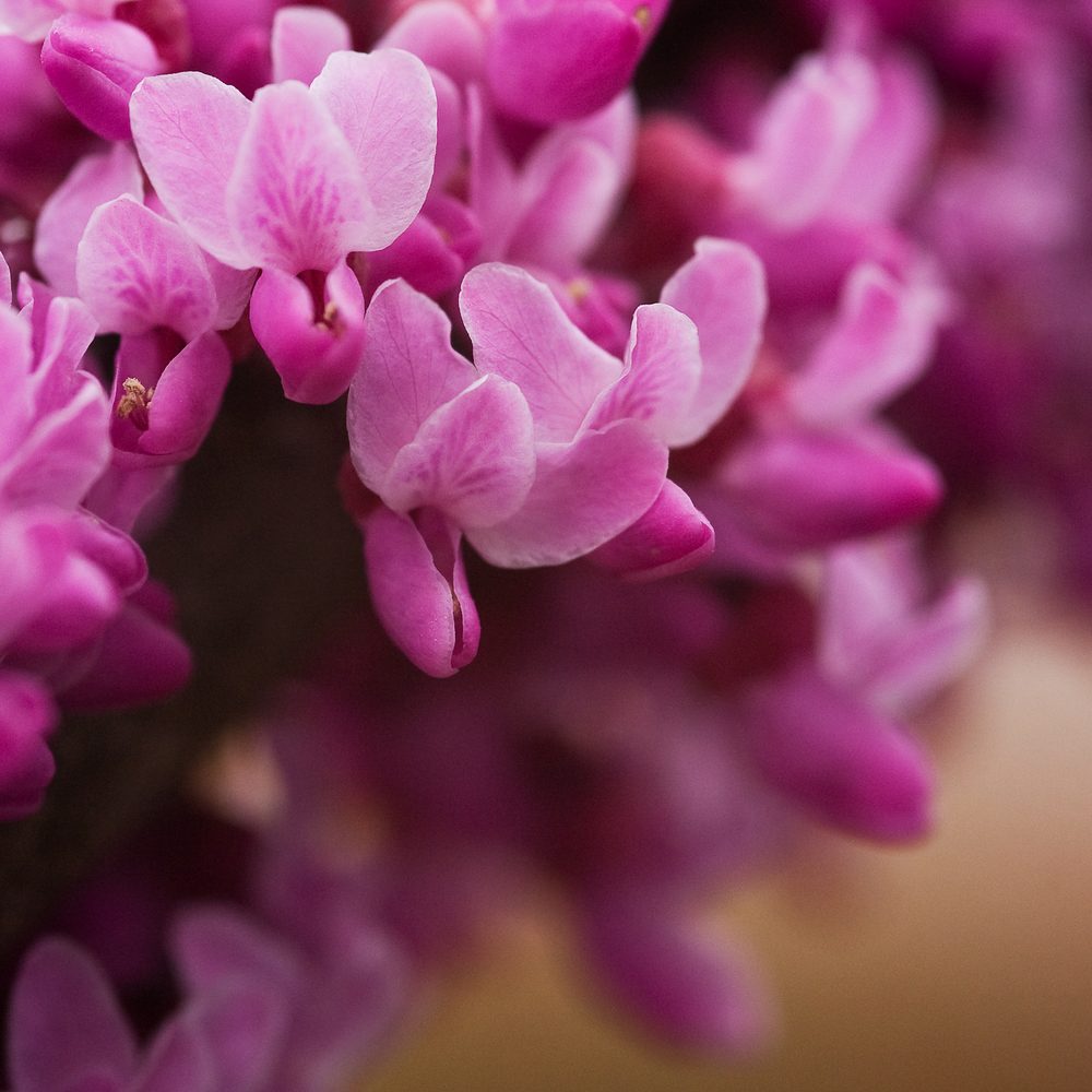 Redbuds in Bloom