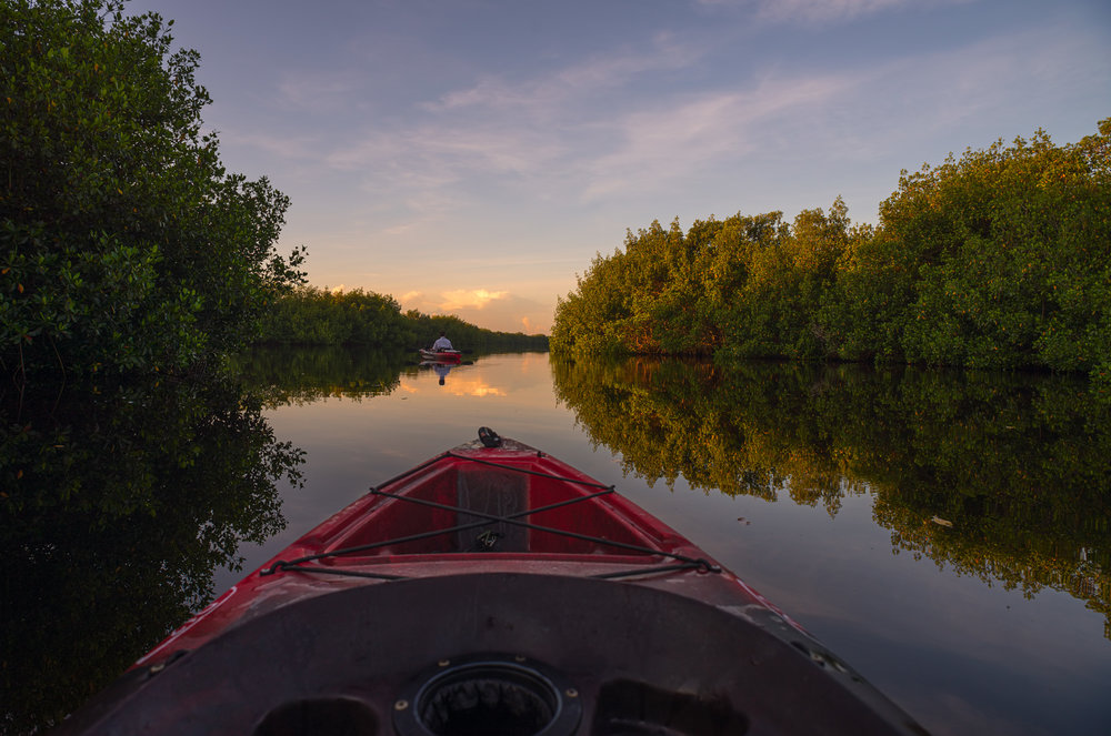 Kayaking Through The Mangrove Forest - Kayaking through the mangrove forest at Fakahatchee Strand Preserve State Park in the Everglades.