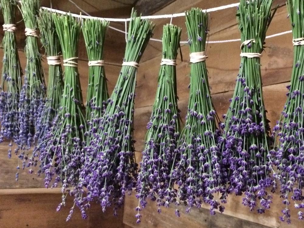 lavender-fields
