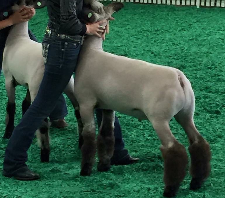 Reserve Grand - 2015 Kentucky State Fair Sire:  True Classic (WH 2-112)Dam:  Exile daughterBreeder:  Amstutz Club Lambs