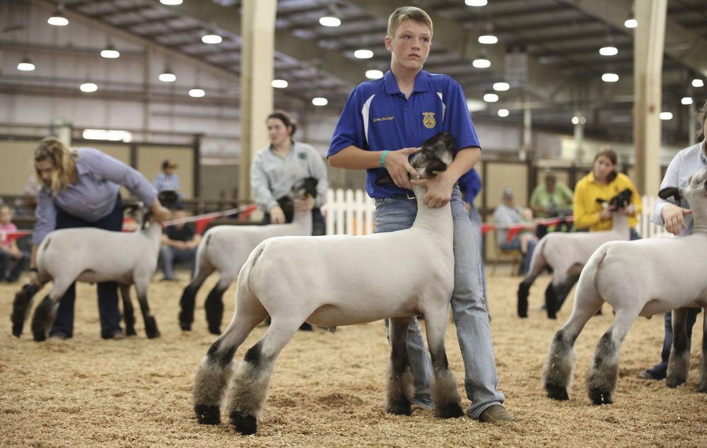 Grand Champion  - 2016 Oklahoma State Fair Sire:  Barely LegalDam:  WH 3-021Showman:  Skidgel FamilyPlaced by:  Ty Allen