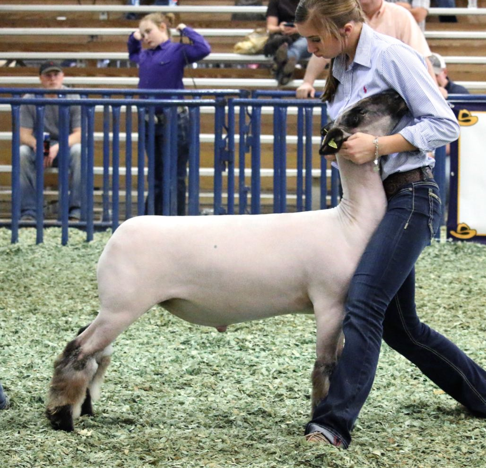 Class Winner - 2016 San Antonio Livestock Show Sire:  Public EnemyDam:  WH 2-060 (WH 8-075 line)Showman:  Owens FamilyPlaced by:  Hill Show Stock