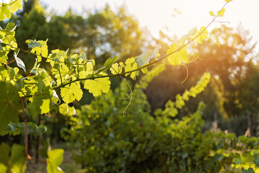 Briceland Vineyards-Briceland Winery-Briceland-California-Winery-Vineyard-Grapes-Wine