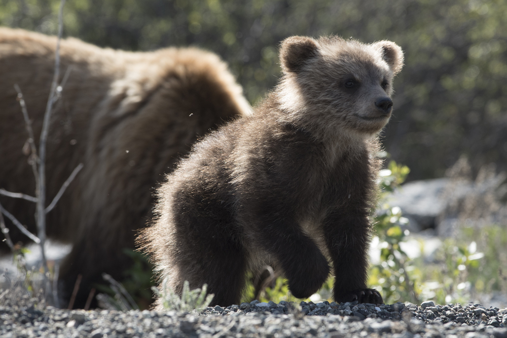 Grizzly Bear cub off the Alaskan Highway.