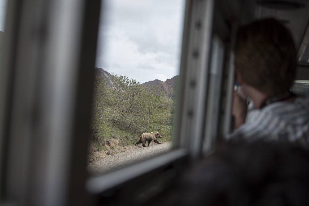 A Grizzly spotted from the camper bus in Denali National Park.
