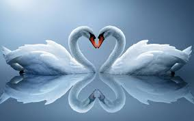 Love Swans.jpg