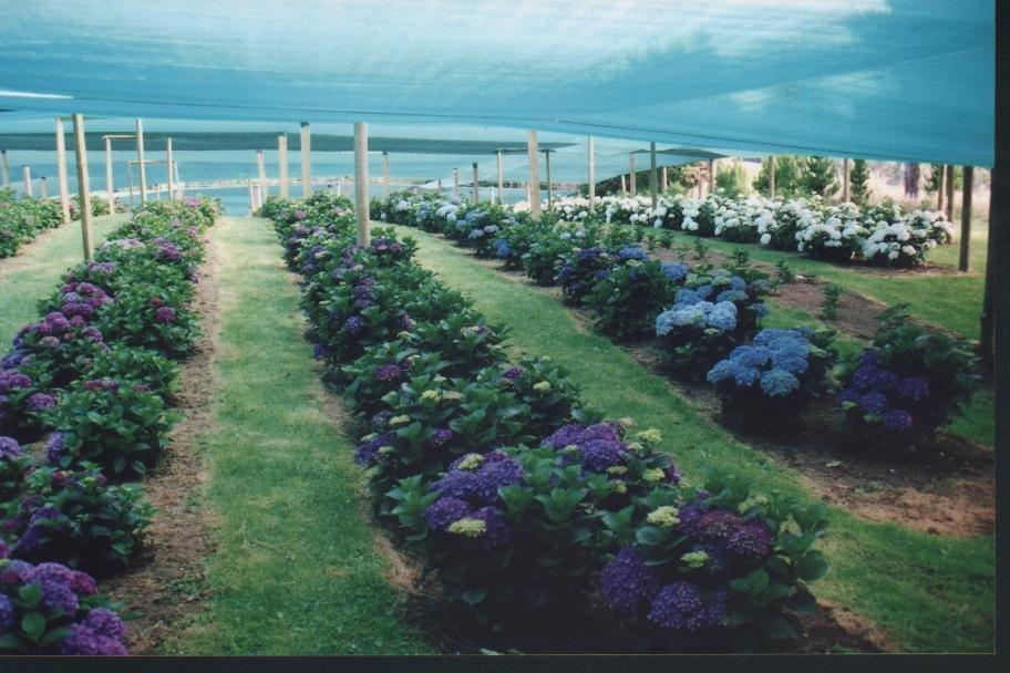 Birbeck Blooms -Hydrangeas