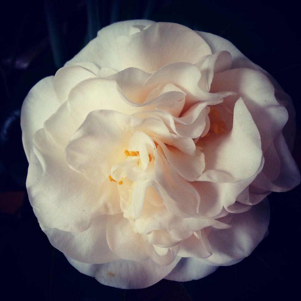 Day 12. This absoultely perfect camelia flower - despite all the rain we've had