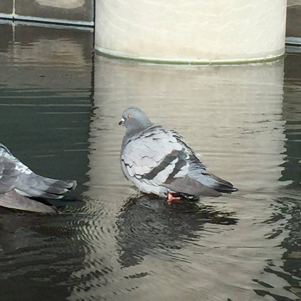 Day 22. Paddling pigeons!