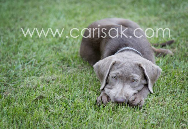 Luna the Silver Lab Puppy - Dog Photographer in the South