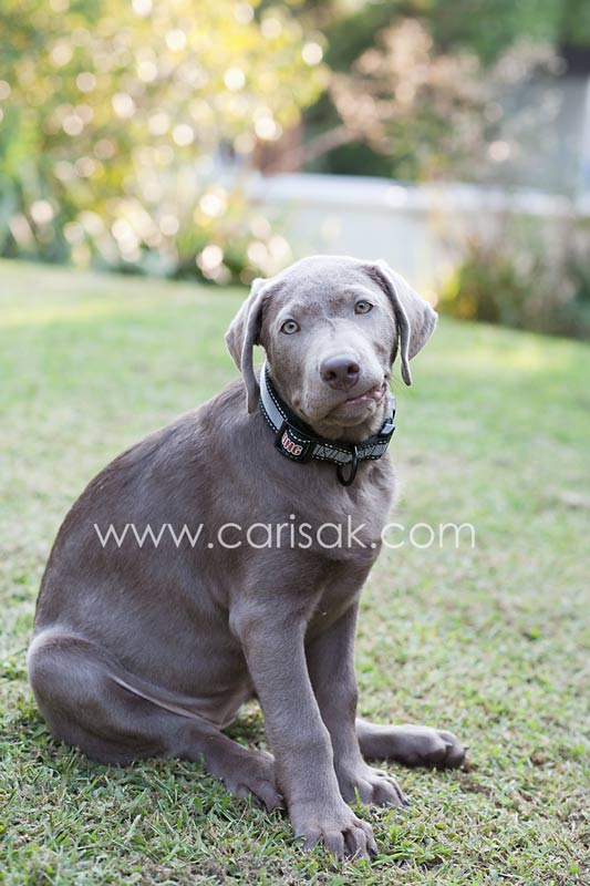 Luna the Silver Lab Puppy - Dog Photographer in the South Bay Area