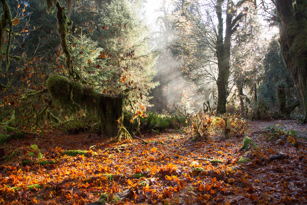 FALL #1 Hoh Rainforest, WA