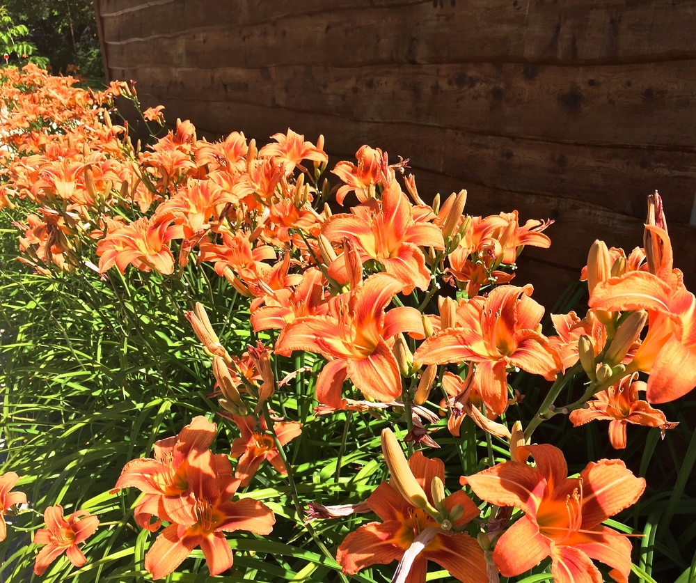 Sometimes, just letting ones eyes rest on traditional day lilies can serve as a refresh.